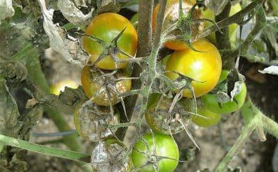 Quand traiter les tomates au mildiou